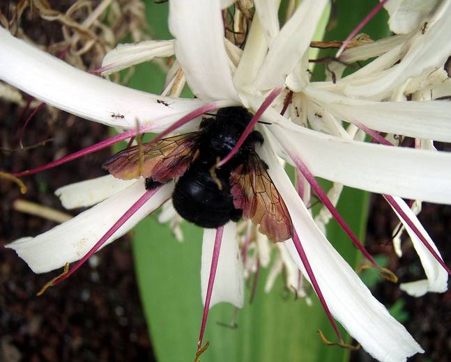 A close up of a carpenter bee from the genus Xylocopa on a white flower