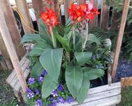 A photo of Canna Lily
