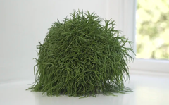 Plant of the week: Rhipsalis cassutha