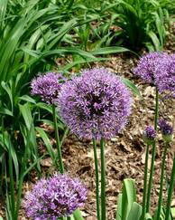 A photo of Allium