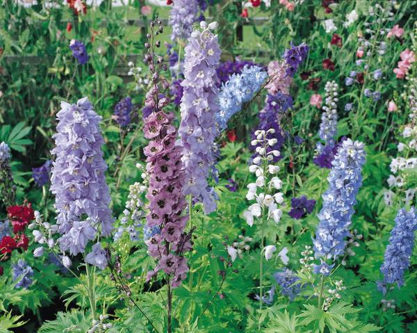 A picture of a Delphinium