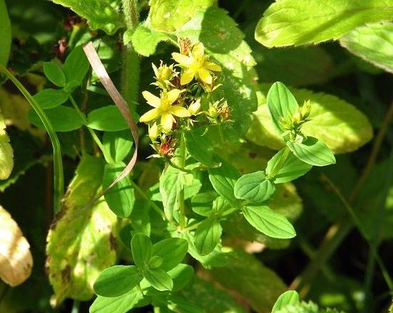 A picture of a Square Stalked St. John's Wort