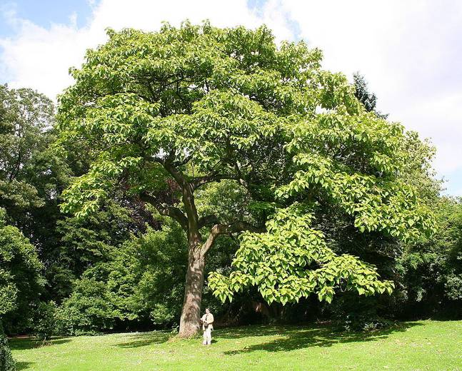 A large Paulownia tomentosa tree in a park