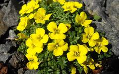 A photo of Morisia monanthos