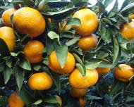 A photo of Citrus
