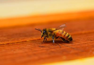 A close up of a honey bee on a wooden surface