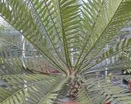 A photo of Eastern Cape Cycad