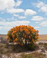 A photo of Australian Fire Tree