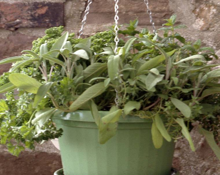 herbs growing in a hanging pot