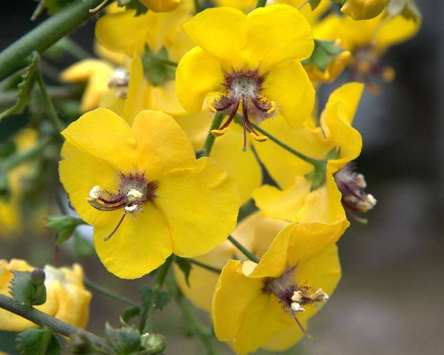 A close up of some yellow Verbascum flowers