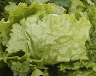 A photo of Lettuce
