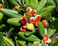 Furiani Pittosporum