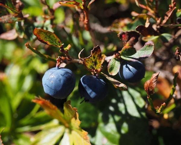 A picture of a Bilberry