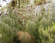 A photo of Horsetail Restio