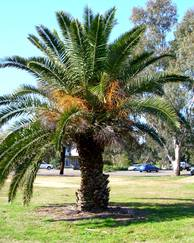 A photo of Date palm