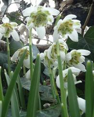 A photo of Double Snowdrop