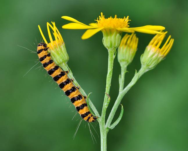 A close up of a orange black cinnabar moth Tyria jacobaeae caterpillar on some yellow ragwort flowers