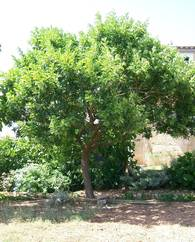 A photo of Brazilian Pepper Tree