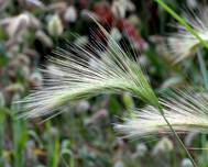 Hordeum jubatum - close-up (aka)