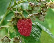 A photo of Raspberry