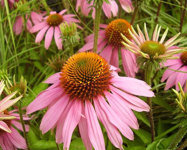 A picture of a Coneflower