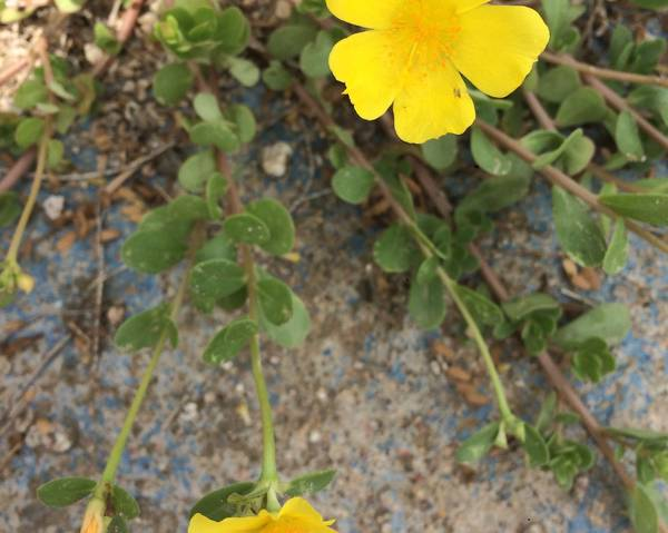 A picture of a Portulaca umbraticola