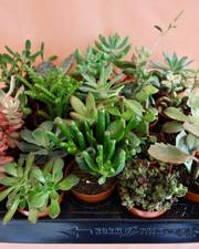 Succulent Mini Mix Selection ×5 plants (Sedum, Echeveria, Aeonium and more) - FREE DELIVERY