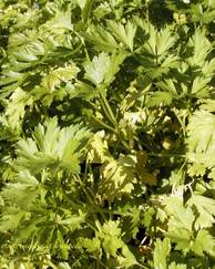 A photo of Flat-Leaved Parsley