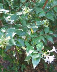 A photo of Glossy Abelia