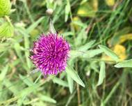 A photo of Common Knapweed
