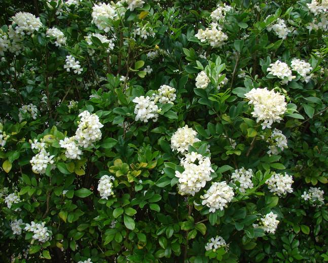 Some Murraya paniculata with green leaves and white flowers