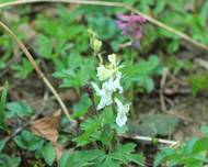 A photo of Bulbous corydalis