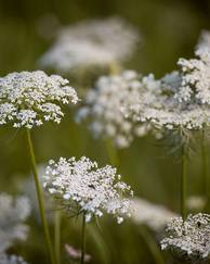 A photo of Wild Carrot