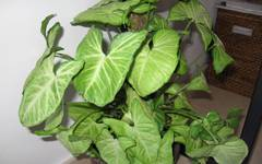 A photo of Syngonium