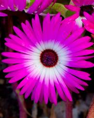 A photo of Livingstone Daisy