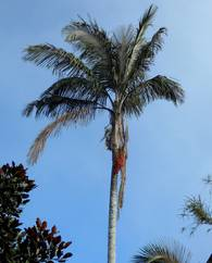 A photo of  Wax Palms