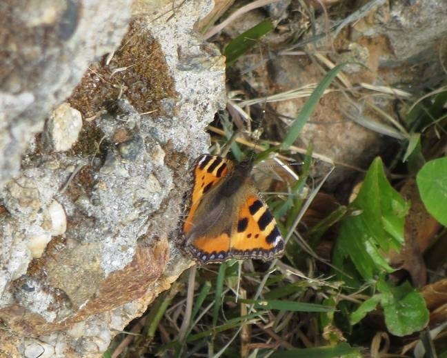 A close up image of small tortoiseshell butterfly Aglais urticae perched on a rock wall