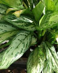 A photo of Chinese Evergreen 'Silver Queen'