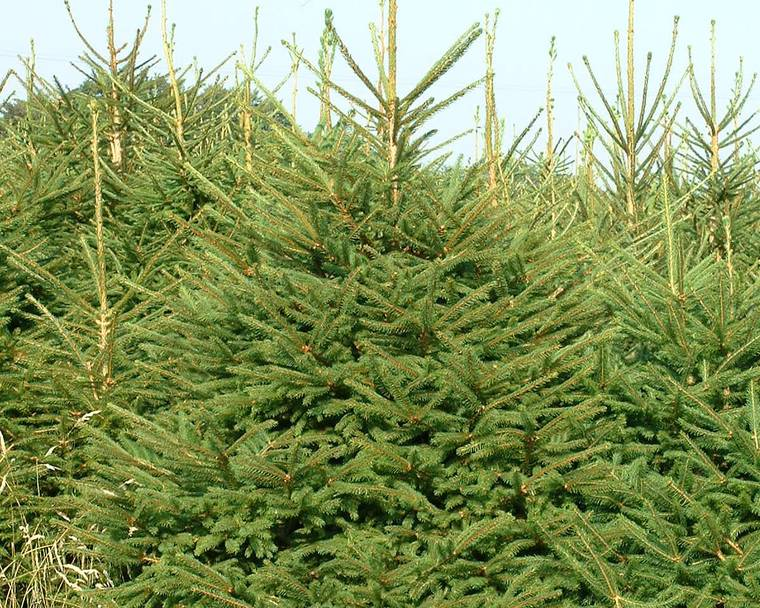 A green Norway Spruce Christmas tree in a field