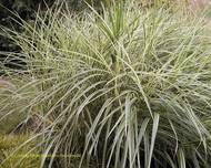 A photo of Moor grass