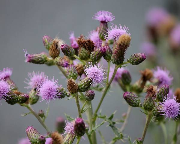 A picture of a Creeping Thistle