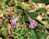 A photo of Clinopodium menthifolium