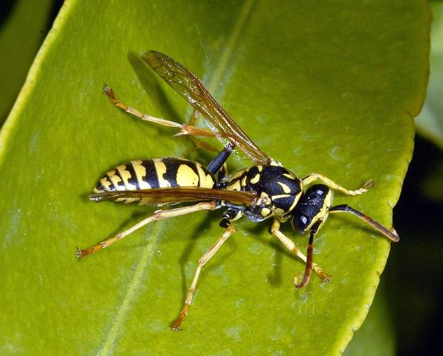 A close up of wasp, in the family vespidae on a leaf