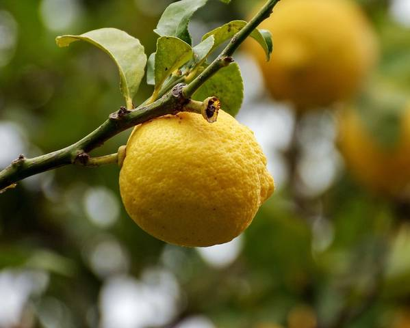 A picture of a Lemon Tree