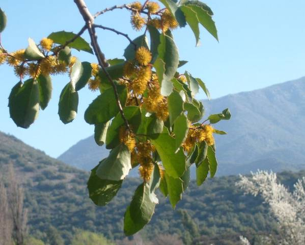 A picture of a Azara