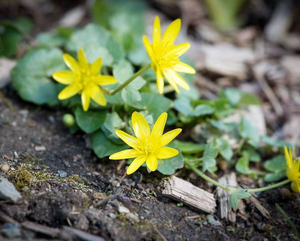 A picture of a Lesser Celandine