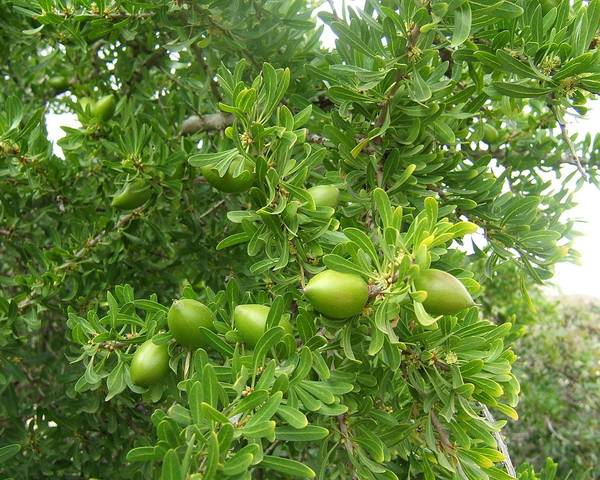 A picture of a Argan Tree
