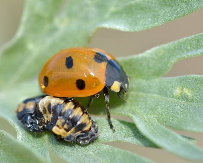 A close up of a 7-spot ladybird and its larva on a plant