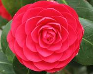 Camellia japonica-IMG 2052