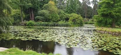 Golden Brooke lily pond at Tatton Park garden